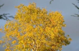 Golden autumn tree